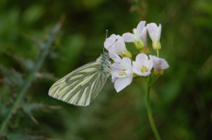 green veined white 019
