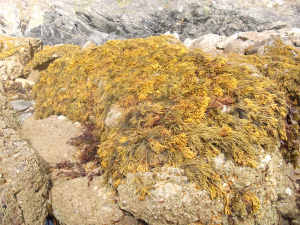 BRIGHT YELLOW-BROWN SEAWEED