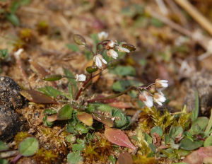 whitlow grass