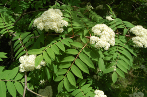 Mountain Ash at Mountain Ash