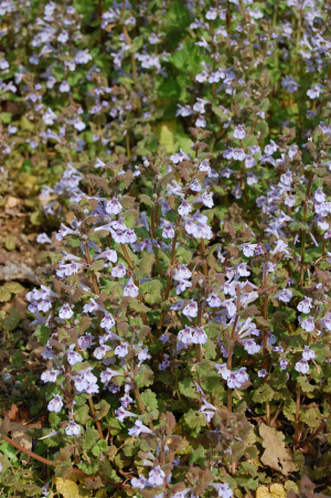 Odd Ground Ivy