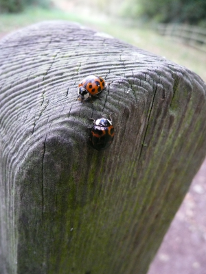 Is this Harlequin ladybird?