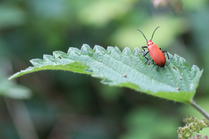 Lilly Beetle on a nettle