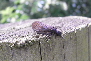 Alderfly on a fence post
