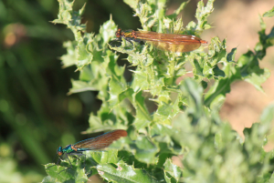 Demoiselles on thistles