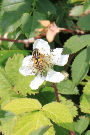 Hoverfly on a Dog Rose