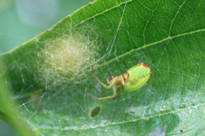 Lime green spider