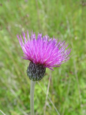 Meadow Thistle with surprise.
