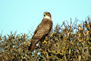 Buzzard or Northern Goshawk