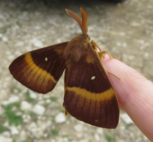 Eggar - Oak or Northern?