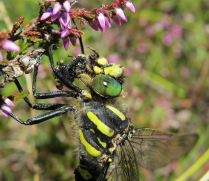 Golden ringed dragonfly, but what is it eating?