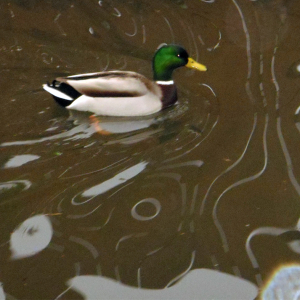 Male Mallard Duck on the Canal