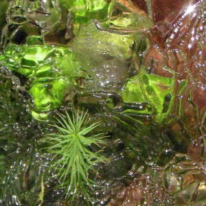 Polytrichum commune growing through the ice