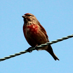 Linnet on a line