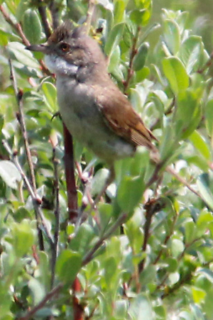 Male Whitethroat (Sylvia communis)