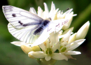 Female green-veined white butterfly