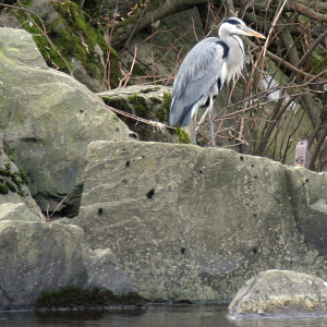 Grey Heron on riverside rocks.