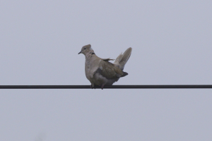 Collared dove in high wind