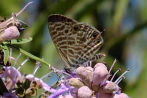 Lang's Short Tailed Blue