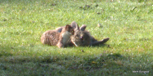 Stoat and rabbit
