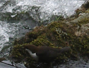 WhiteThroated Dipper