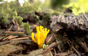 Yellow Stagshorn, Calocera viscosa
