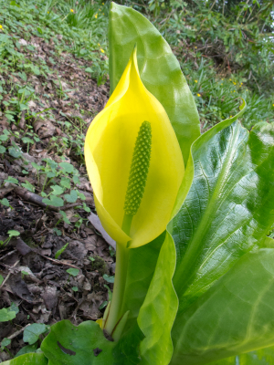American Skunk Cabbage