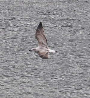 Immature Greater Black backed Gull