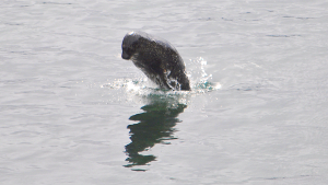 Harbour seal leaping