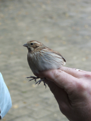 Reed Bunting at ringing session