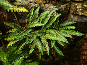 Rusty-back fern