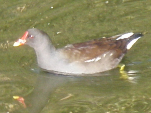Moorhen in Hull City Centre