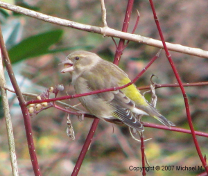 Greenfinch?