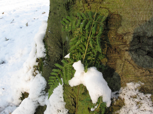 Snow covered bracken