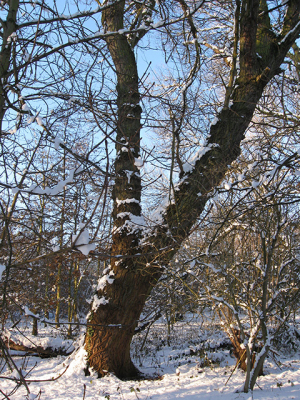 Forked sycamore tree in winter