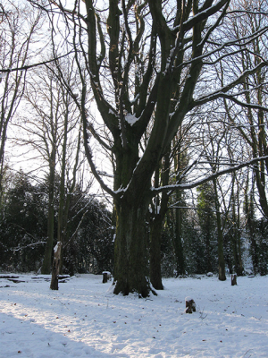 Horse chestnut in winter