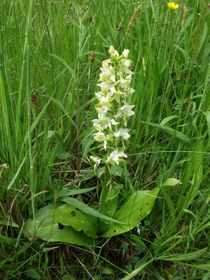 Greater butterfly orchid 1