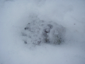 badger prints in snow 209