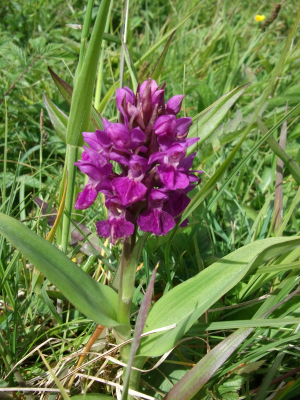 Northern marsh orchid 1611