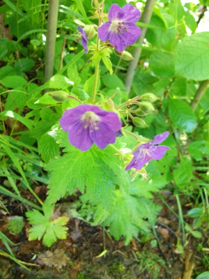 meadow cranesbill 2611