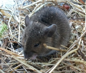 young wood mouse 28511