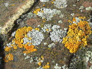 Observation of suburban lichens
