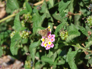 Mallow skipper in Greece