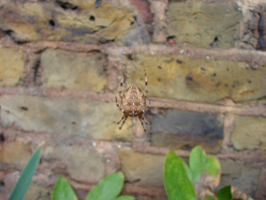 Walnut orb-weaver spider