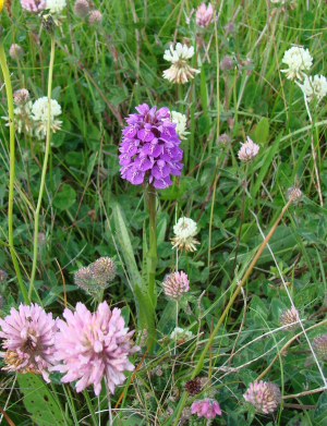Heath Spotted Orchid - 2