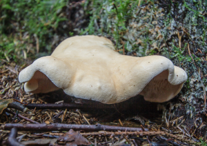 Wood Hedgehog (Hydnum repandum)