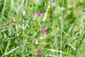 Common Vetch?