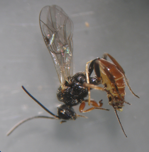 Orthopelma mediator - Female