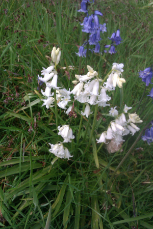 Native Bluebells?