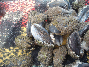 Common Mussels
